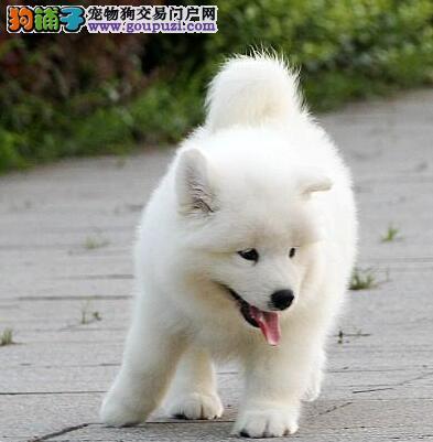 上海售纯白无泪痕萨摩耶纯正健康保障澳版熊版公母可选