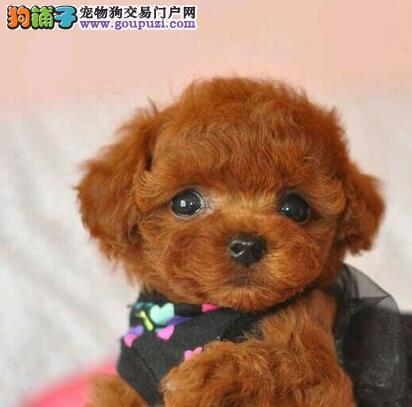 特价出售茶杯体上海贵宾犬品种齐全质保出售