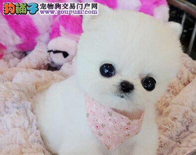 俊介无比可爱的博美犬 南京周边上门参观选狗