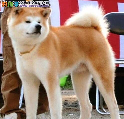 上海狗舍促销血统纯正秋田犬血缘清楚包养活