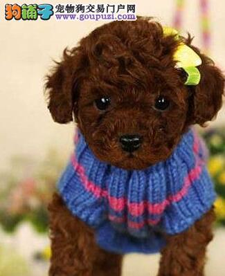 苏州自家的一窝红泰迪宝宝要转让,玩具体,很可爱