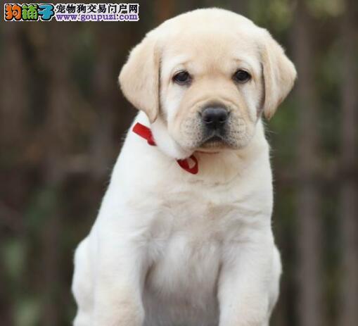 北京超好头版超好体型超好骨量精品拉布拉多犬低价热销