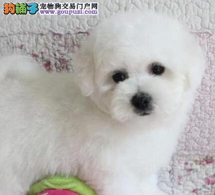 北京专业基地繁殖赛比熊犬幼犬火热销售中欢迎上门挑选