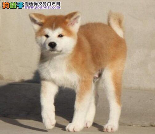 日本引进双血秋田犬热销中纯种健康包售后公母均有