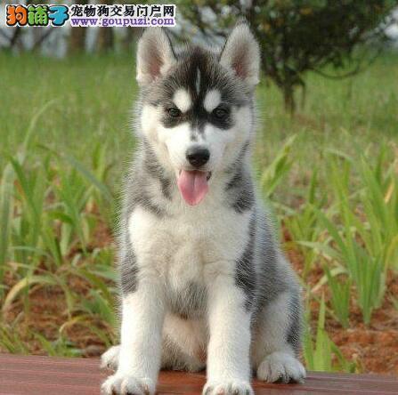 株洲出售三火蓝二哈眼多只可挑上门看哈士奇犬生活环境
