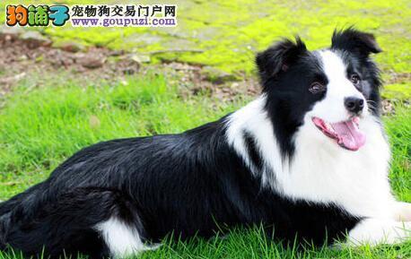 最大犬舍出售多种颜色边境牧羊犬期待您的来电咨询