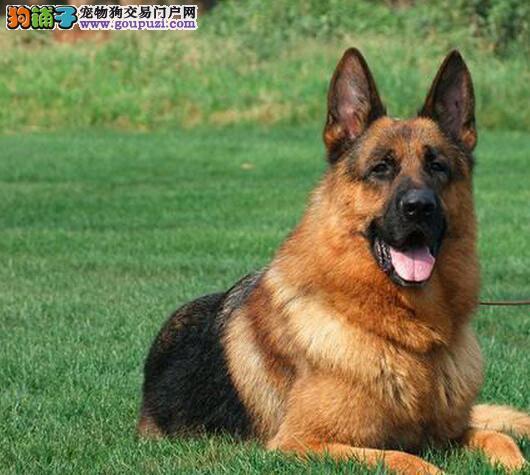 饲养德国牧羊犬必须要准备好哪些生活用品