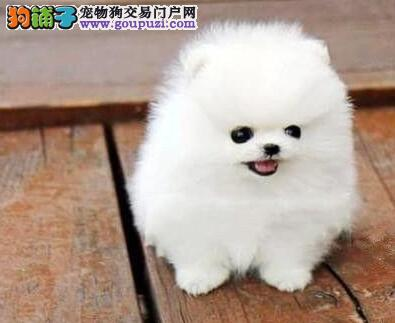 颜色全品相佳的博美犬纯种宝宝热卖中提供护养指导