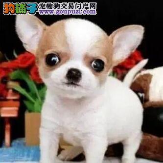 昆明狗场转让超小体吉娃娃大眼睛质保出售