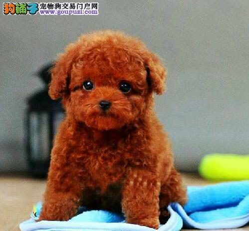 高品质的金昌泰迪犬找爸爸妈妈微信咨询看狗狗照片