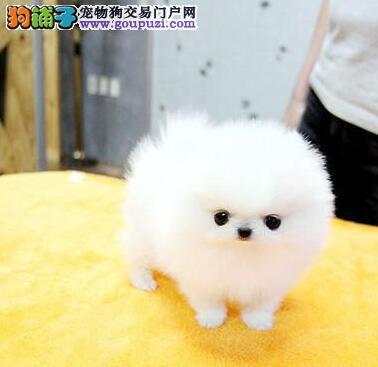 长沙市白富美的最佳搭档哈多利球版博美犬幼犬出售