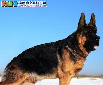 饲养德国牧羊犬需要注意哪些方面