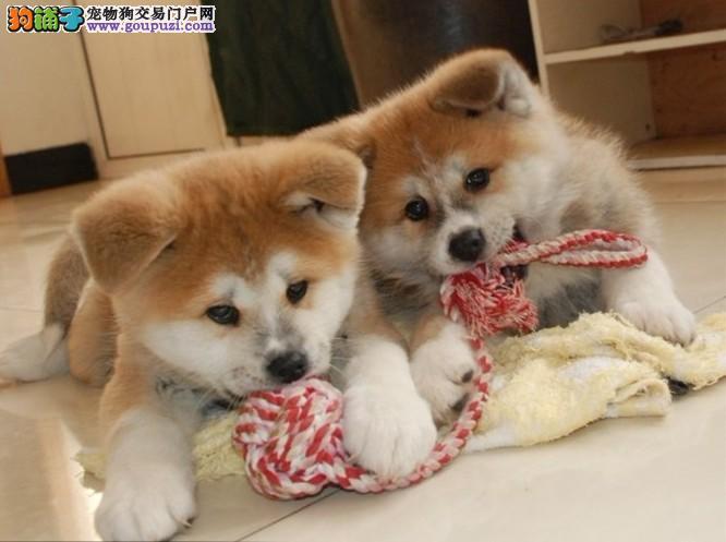 精品柴犬幼犬太原市出售 已做疫苗驱虫 欢迎购买