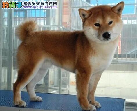 基地直销西安纯种秋田犬 忠诚的家庭伴侣犬 公母都有