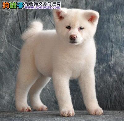狗场直销纯种日本秋田犬保健康包纯种可上门挑选签协议