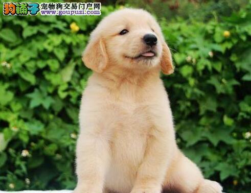 两个月的金毛犬每天应该吃多少狗粮