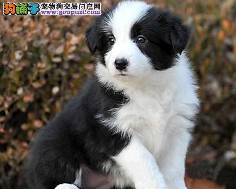 专业犬舍促销优秀边境牧羊犬 深圳周边可送货上门检验