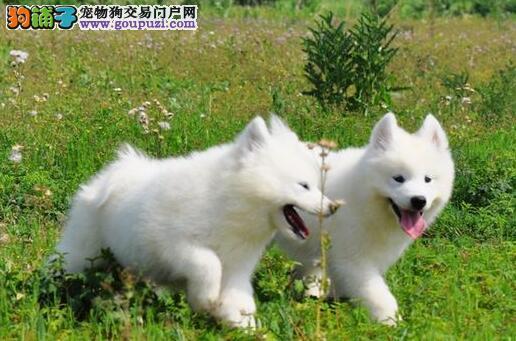 玉溪澳版可爱雪白天使萨摩耶幼犬 纯正血统价格优惠