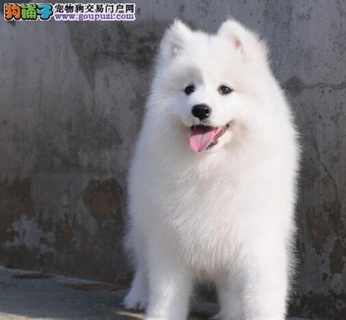 太原萨摩耶幼犬淘气可爱 毛量多 毛色好看 保健康纯种
