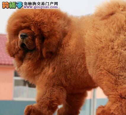 大型专业培育藏獒幼犬包健康全国质保全国送货