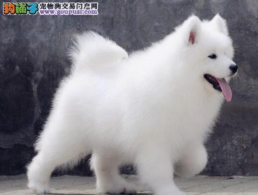 成都犬舍挥泪出售萨摩耶幼犬 价格最低质量最优萨摩犬