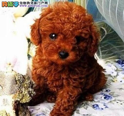 热销韩系血统长沙泰迪犬 可刷卡可视频可签订协议4