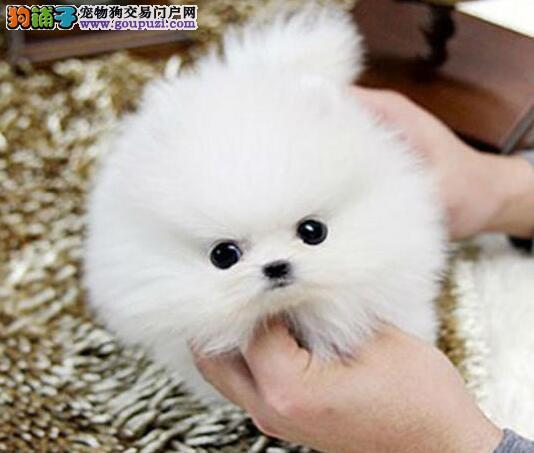 上海出售袖珍博美哈多利小体博美犬小巧玲珑健康活泼