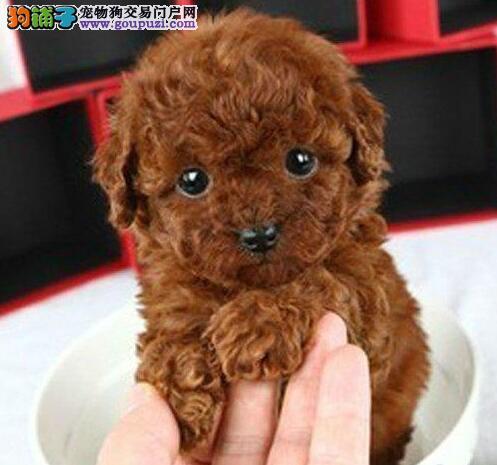 热销韩系血统长沙泰迪犬 可刷卡可视频可签订协议2
