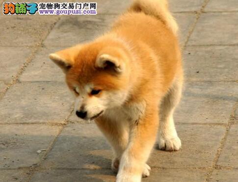 秋田犬出售 打完疫苗带血统证书芯片售后签协议包售后