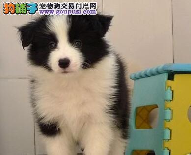 广州犬舍直销极品边境牧羊犬 公母都有已做齐三针疫苗