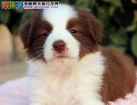 长沙cku注册犬舍哪里有卖边境牧羊犬 颜色多公母都有