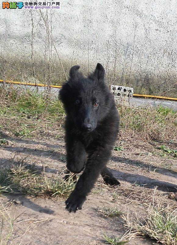 杭州纯种比利时牧羊犬幼犬出售警犬军犬品质好品相极佳