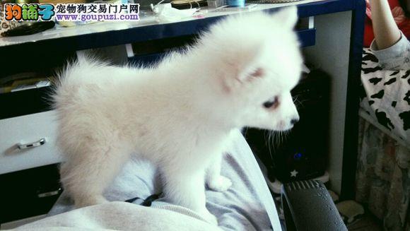 北京家养尖嘴银狐犬找新家 大眼睛毛雪白漂亮银狐幼犬