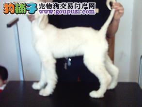 CKU认证犬舍出售高品质阿富汗猎犬诚信经营三包终身协议