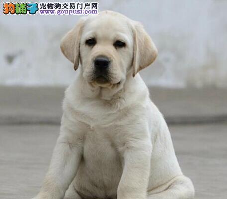 促销价出售冠军级血系杭州拉布拉多犬 血统纯正公母全