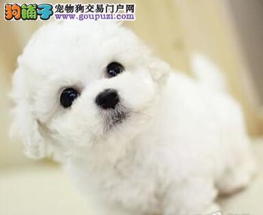 上海出售繁殖小体比熊犬幼犬血统纯正健康品质保证2