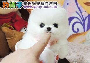 贵阳出售纯种白博美犬 俊介犬幼犬 超可爱品相好品质优