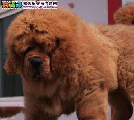 昆明大型犬舍出售原生态藏獒 品种齐全颜色多样