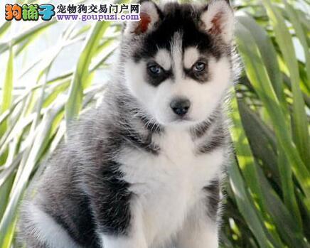 合肥正规犬舍繁殖出售哈士奇 三把火双蓝眼双血统品相