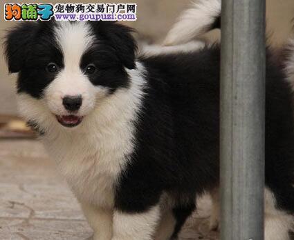 热销高品质边境牧羊犬 杭州正规狗场专业繁殖可预订