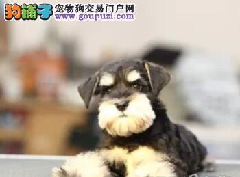多只优秀品质武汉雪纳瑞出售 支持上门看狗也可视频2