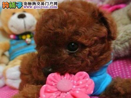 郑州专业繁殖纯种泰迪熊幼犬可送货上门 签协议保健康