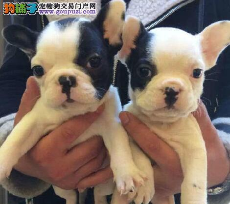 顶级品质斗牛犬南京狗场特价直销 花色齐全品种多