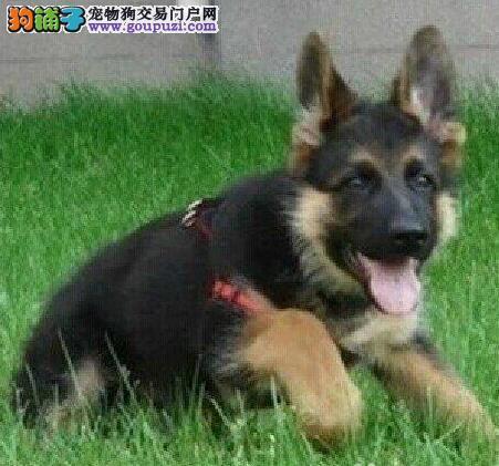 深圳纯种德国牧羊犬质量保证健康保证德牧养活签协议