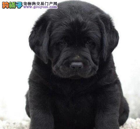 恩施出售CKU纯种拉布拉幼犬 公母都有 包健康 签协议