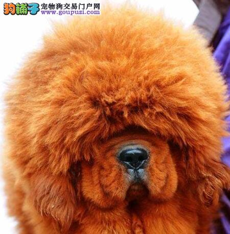 出售纯种健康的藏獒幼犬保证冠军级血统