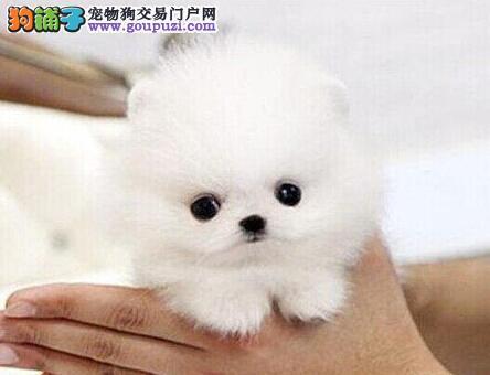 纯种球型哈多利博美犬出售 顶级萌宠白富美 可爱小公主