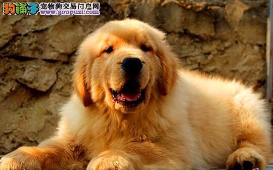 家养纯种金毛幼犬找新家