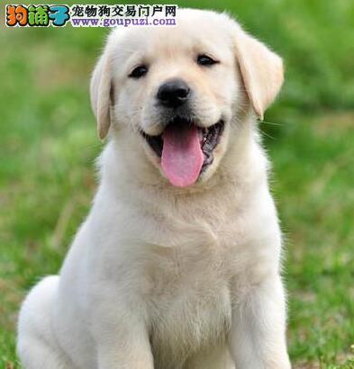 海出售拉布拉多犬/拉布拉多导盲犬/欢迎上门选购