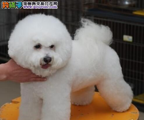 加微信看视频送狗上门 昭通出售比熊犬幼犬签质保协议